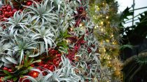 Holly, Ivy, and Other Christmas Plants
